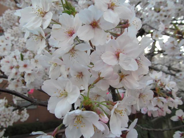 目黒川の満開の桜2015氷川橋5