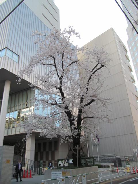 渋谷区文化総合センター大和田の満開の桜
