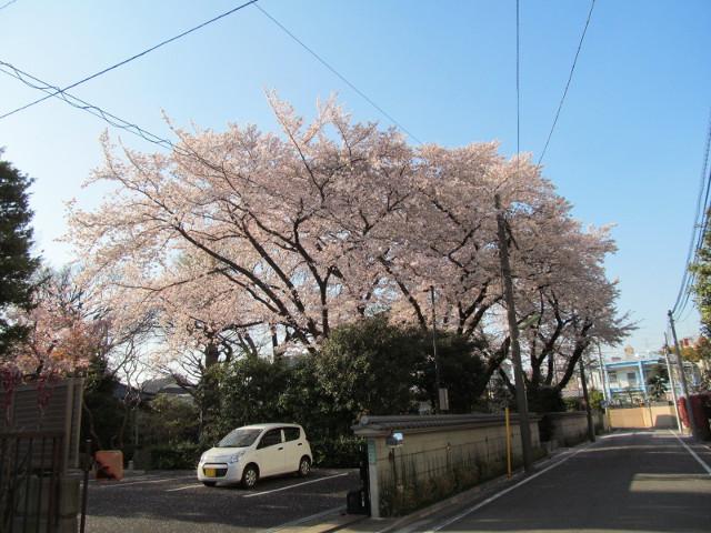 浄光寺の満開の桜2015その1