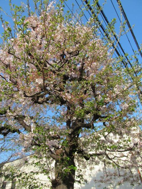 ボロ市通りの桜は葉桜2015その2