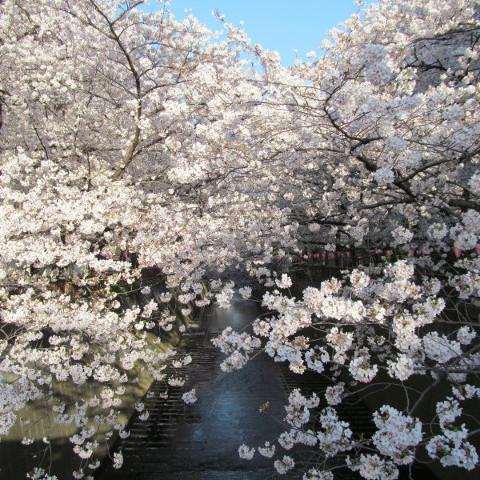 目黒川の満開の桜2015サムネイル