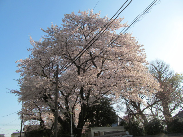 浄光寺の満開の桜2015その3