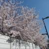 世田谷駅周辺の満開の桜2015サムネイル2