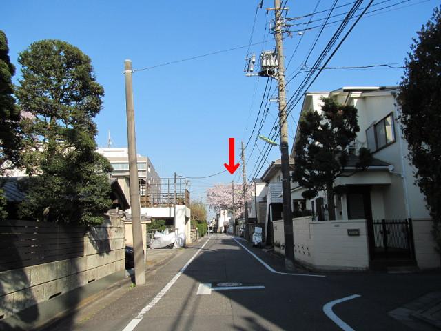 遠くに見える立派な桜の樹