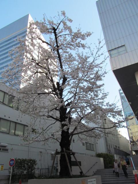 渋谷区文化総合センター大和田の満開の桜2