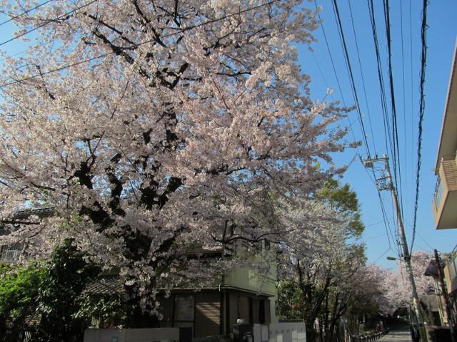 松丘小学校周辺の満開の桜2015その2