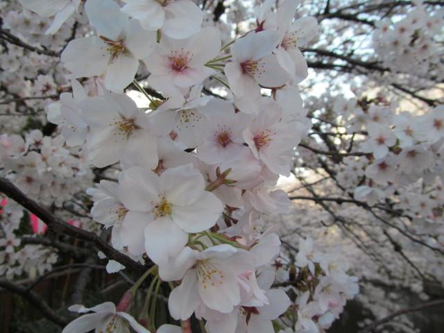 目黒川の満開の桜2015氷川橋6