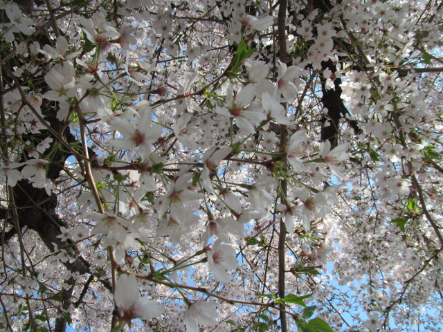 世田谷駅北側民家の満開の桜2015その4
