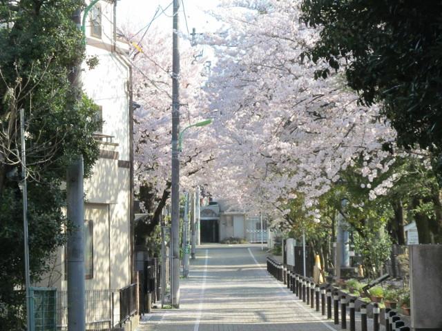 松丘小学校の満開の桜2015その3
