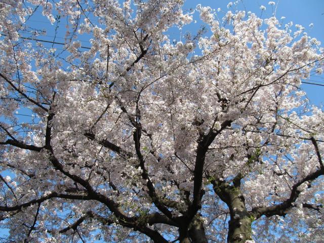 松丘小学校向かいの民家の満開の桜2015その1