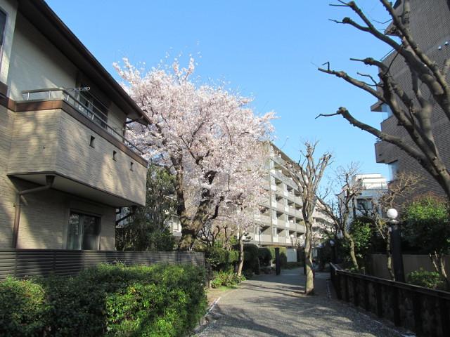 松丘小学校周辺の満開の桜2015その1