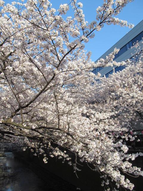 目黒川の満開の桜2015氷川橋10