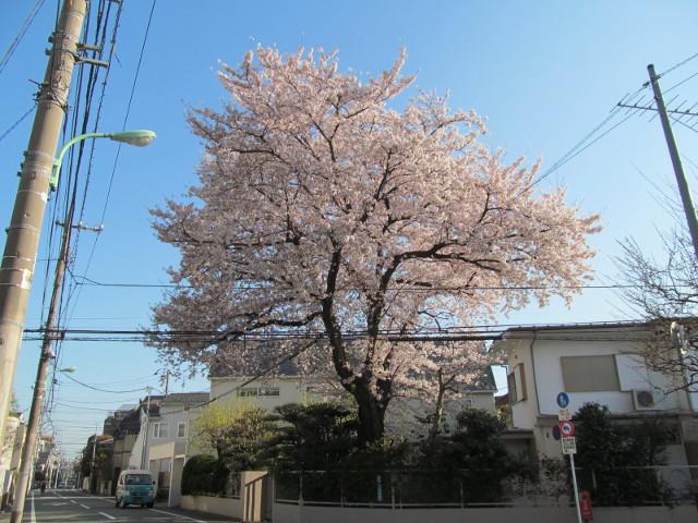 弦巻三丁目の民家の桜3