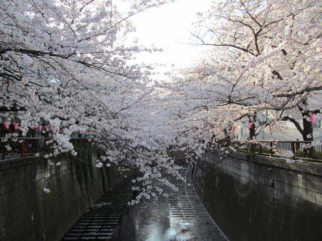 目黒川の満開の桜2015氷川橋1