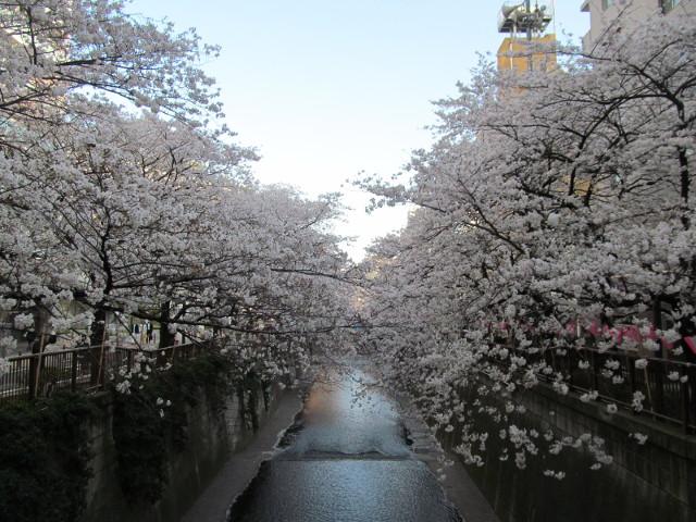 目黒川の満開の桜2015大橋1