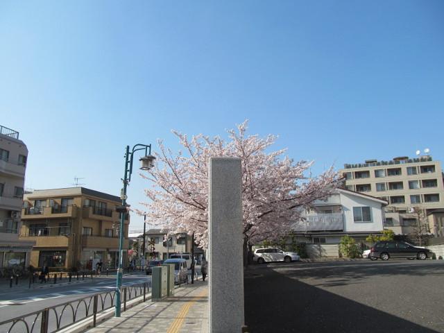 円光院の満開の桜2015その4
