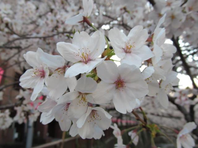目黒川の満開の桜2015氷川橋4