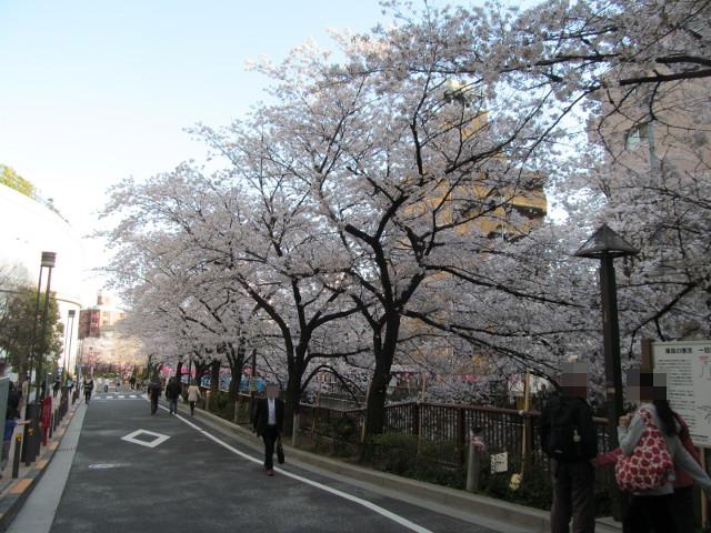 目黒川の満開の桜2015大橋2