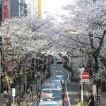 渋谷桜丘さくら通りの満開の桜サムネイル