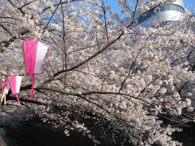 目黒川の満開の桜2015氷川橋9