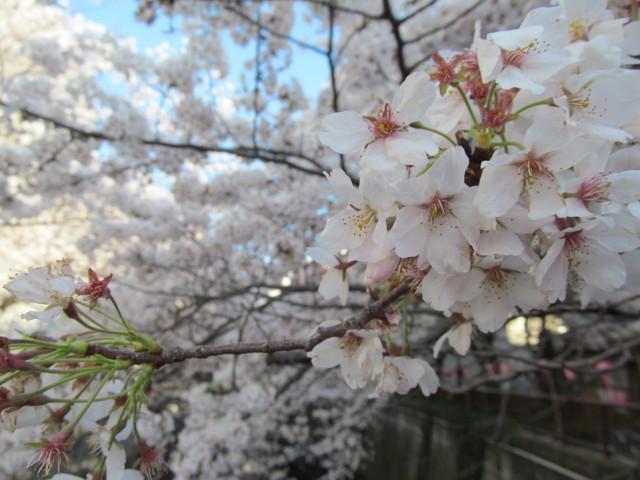 目黒川の満開の桜2015万代橋5
