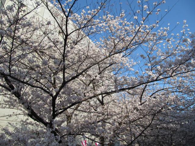 目黒川の満開の桜2015万代橋3