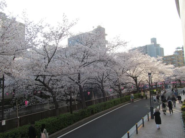 目黒川の満開の桜2015目黒天空庭園2階レベル2