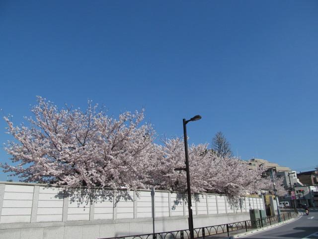 円光院の満開の桜2015その8