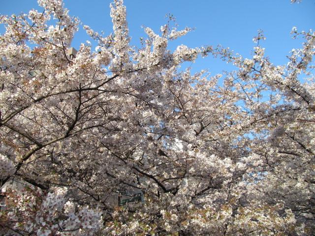 目黒川の満開の桜2015東山橋2