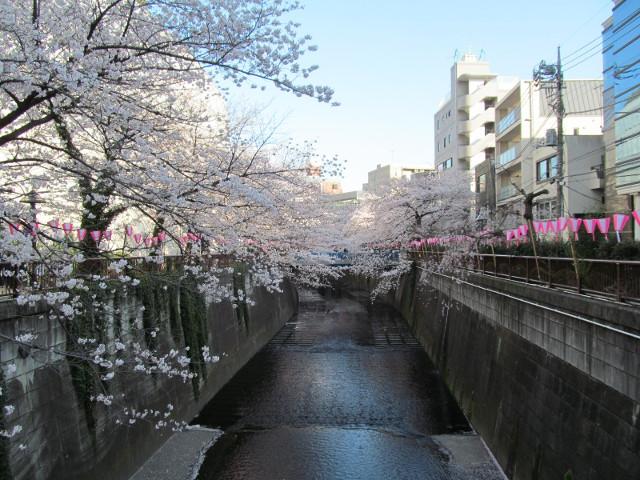 目黒川の満開の桜2015常盤橋3