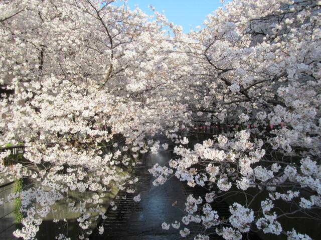 目黒川の満開の桜2015氷川橋3