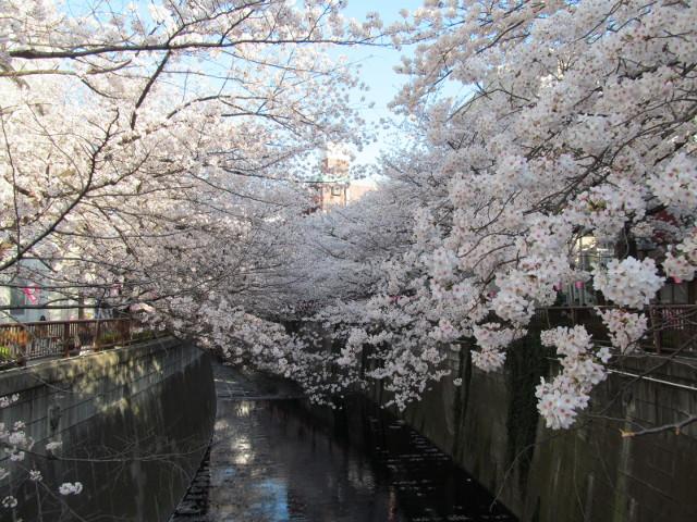 目黒川の満開の桜2015万代橋2