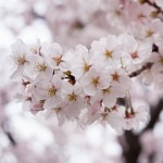 桜満開予想2015記事20150306サムネイル