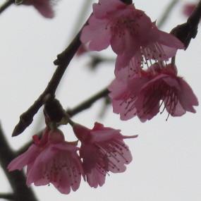八重岳のヒカンザクラ開花状況20160105サムネイル
