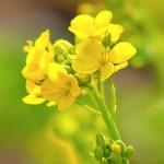 菜花と菜の花の違いサムネイル
