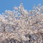 世田谷区桜祭り一覧2016サムネイル