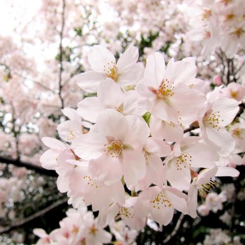 桜開花日満開日予想2016共通サムネイル2