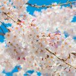 世田谷区桜祭り一覧2017年編サムネイル