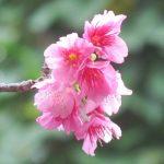 八重岳のヒカンザクラ開花状況20180104サムネイル2