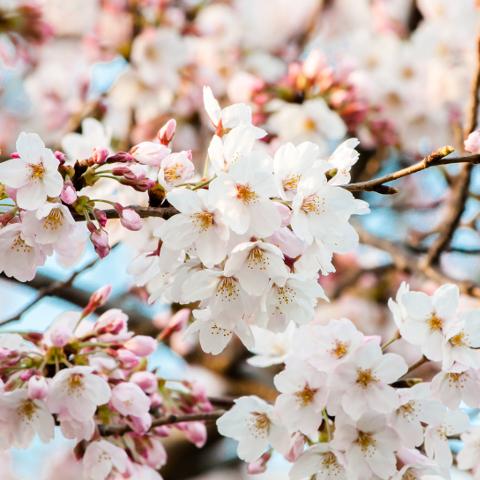 世田谷区桜祭り一覧2018年編サムネイル