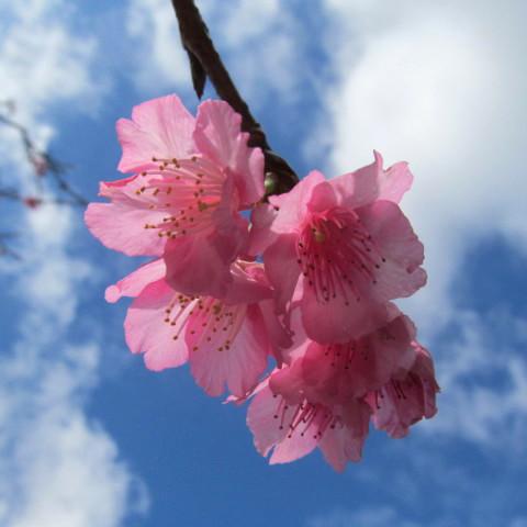 八重岳の桜20190107サムネイル480調整後