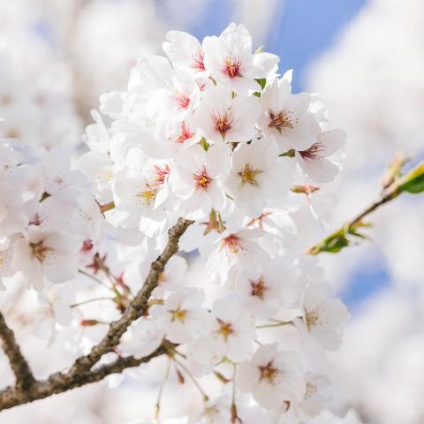 世田谷区桜祭り一覧2019年編サムネイル480