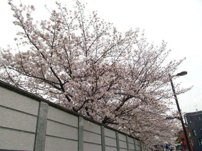 世田谷駅周辺の満開の桜2021アイキャッチ1280調整後