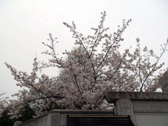setagaya-cherry-full-bloom-20210328-001