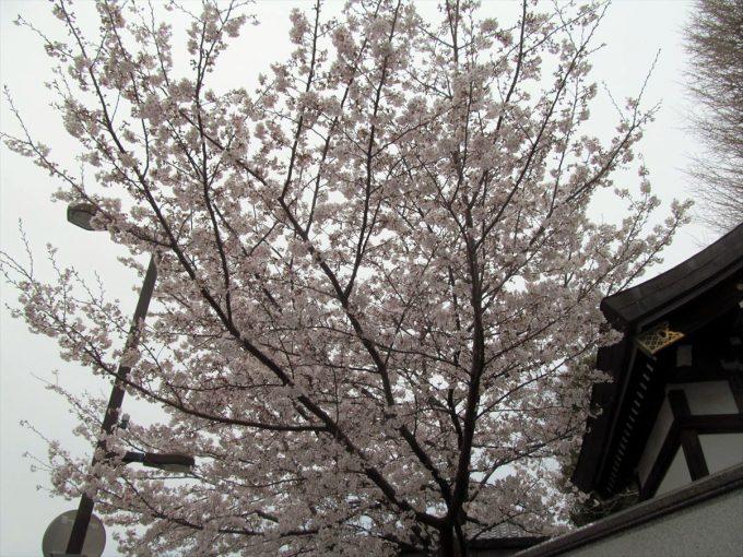 setagaya-cherry-full-bloom-20210328-002
