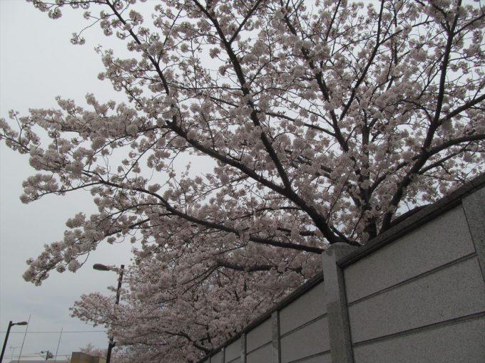 setagaya-cherry-full-bloom-20210328-003