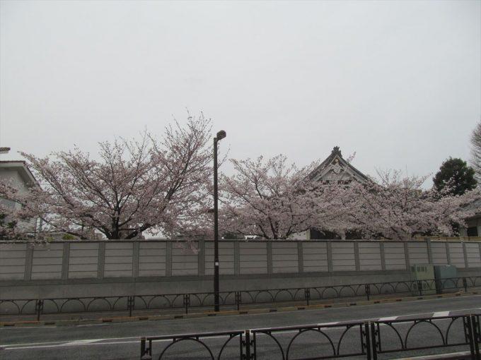 setagaya-cherry-full-bloom-20210328-006