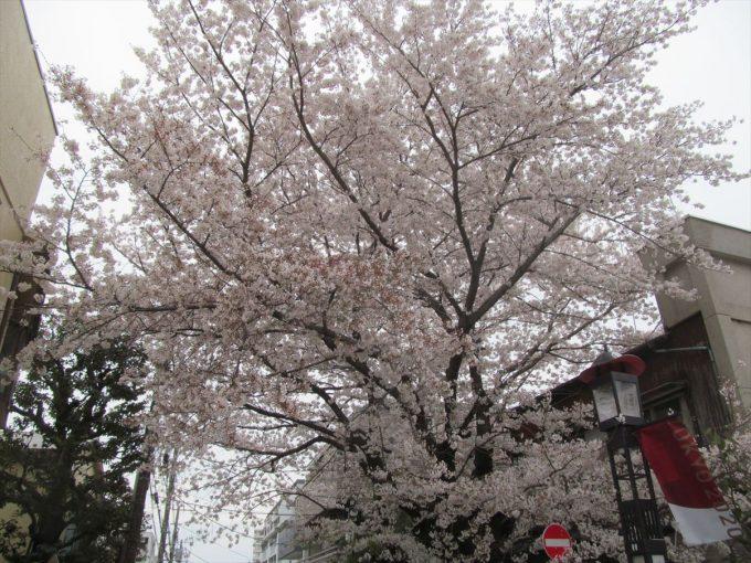 setagaya-cherry-full-bloom-20210328-007
