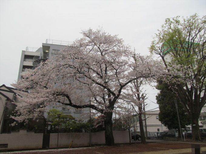 setagaya-cherry-full-bloom-20210328-010