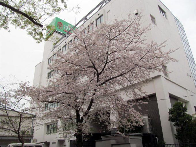 setagaya-cherry-full-bloom-20210328-011